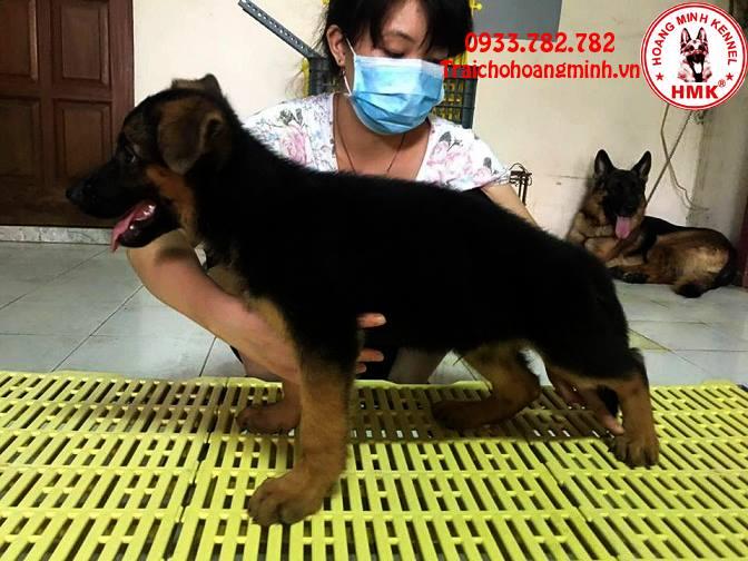 Chó becgie con 2 tháng tuổi