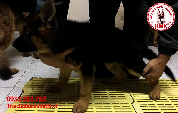 Chó becgie con Trại Hoàng Minh MS 010