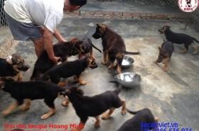 Chăm sóc chó becgie