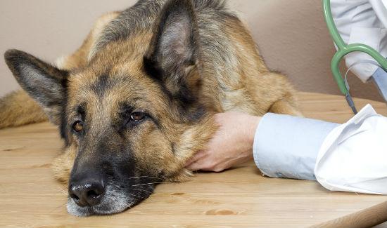 Chó mắc bệnh Parvovirus