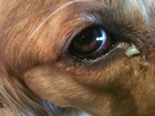 Chó bị viêm phế quản