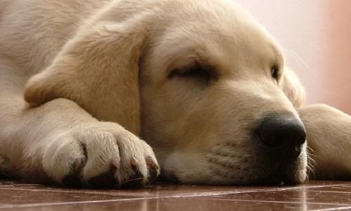 Chó bị bệnh viêm phổi