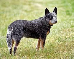 Chó chăn bò Úc