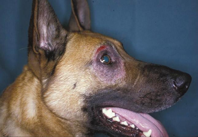 Chó dễ mắc bệnh