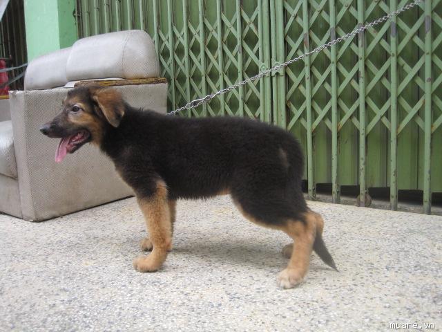 Chó becgie 2 tháng tuổi