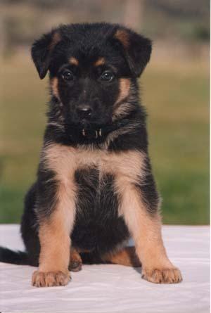 Chó becgie 4-5 tuần tuổi