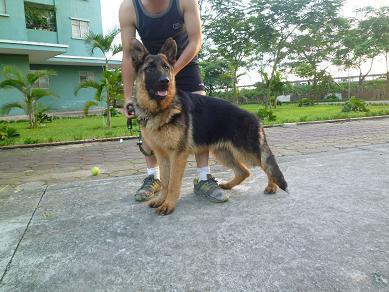 Chó becgie 6 tháng tuổi