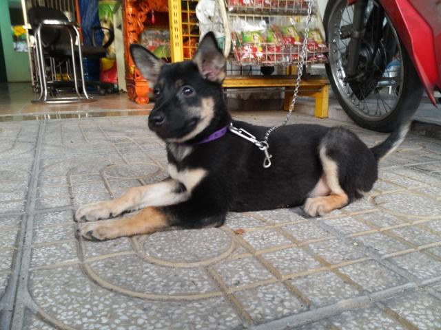 Chó becgie con lai