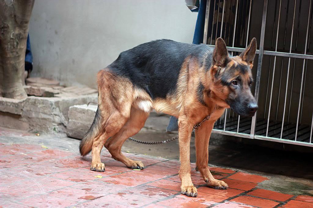 Chó becgie thiếu vitamin B