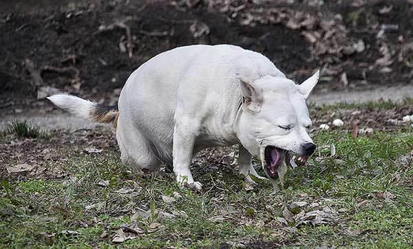 Chó nôn mửa