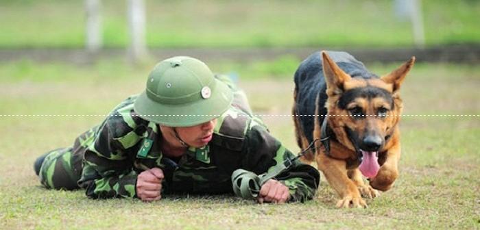 Huấn luyện chó bò