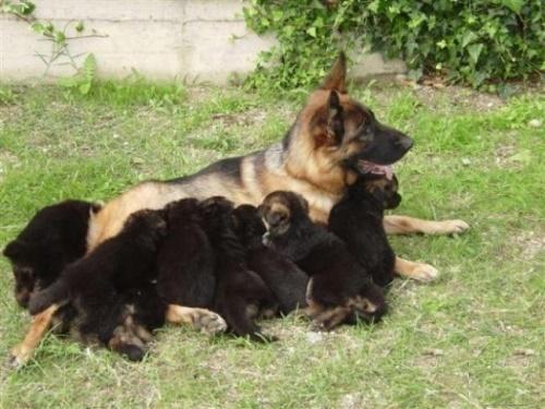 Quá trình sinh đẻ của chó becgie