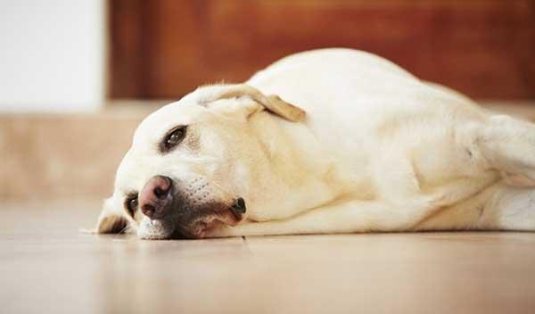 Chó kiệt sức